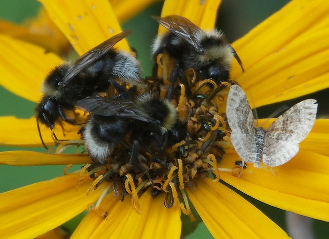 Bombus on ligularia