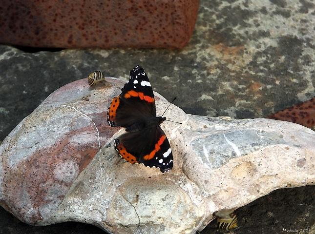 Pyramelis atalanta